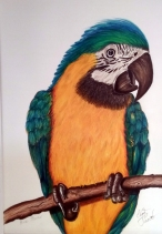 Blue Macaw - (presented in a mat and backing sheet with cellophane cover) Coloured Pencil NOW $60 save $20 on this one!